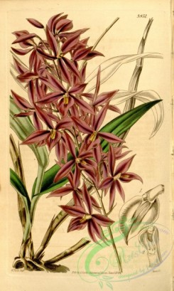 epidendrum-00142 - Barkeria skinneri (as Epidendrum skinneri)
