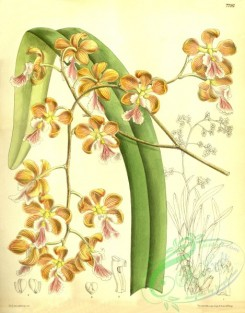 epidendrum-00152 - Encyclia osmantha (as Epidendrum osmanthum)