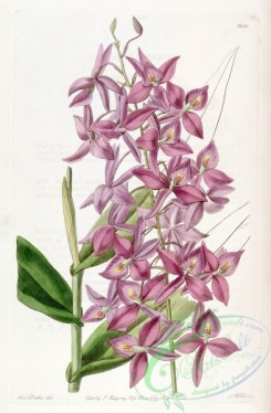 epidendrum-00323 - Barkeria skinneri (as Epidendrum skinneri) - Edwards vol 22 pl 1881 (1836)