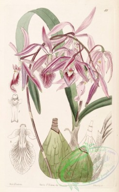 epidendrum-00324 - Encyclia adenocaula (as Epidendrum verrucosum) - Edwards vol 30 (NS 7) pl 51 (1844)