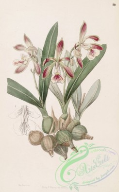 epidendrum-00330 - Encyclia pyriformis (as Epidendrum pyriforme) - Edwards vol 33 (NS 10) pl 50 (1847)