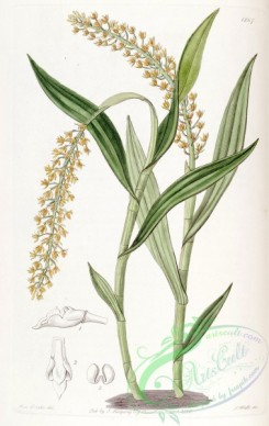 epidendrum-00331 - Epidendrum armeniacum - Edwards vol 22 pl 1867 (1836)