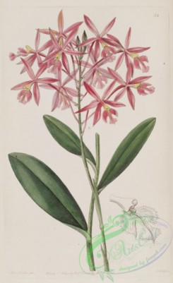 epidendrum-00335 - Epidendrum macrocarpum (as Epidendrum schomburgkii)-Edwards vol 24 pl 53 (1838)
