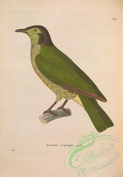 exotic_birds-00007 - casmarhynchos nudicollis, 2