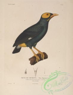 exotic_birds-00039 - Yellow-faced Myna