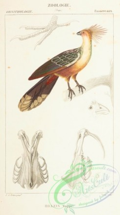 exotic_birds-00043 - Hoatzin