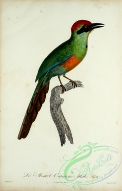 exotic_birds-00060 - Rufous-capped Motmot