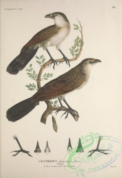 exotic_birds-00085 - White-browed or Burchell's Coucal, centropus superciliosus, 2