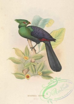 exotic_birds-00094 - musophaga buffonii