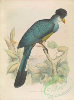 exotic_birds-00096 - musophaga gigantea