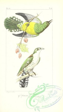 exotic_birds-00107 - African Emerald Cuckoo, cuculus cupreus, Northern Flicker, cuculus auratus