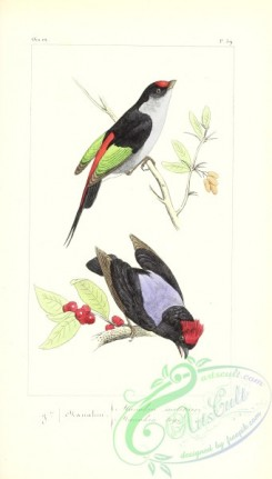 exotic_birds-00149 - Pin-tailed Manakin, pipra militaris, Blue-backed Manakin, pipra pareola
