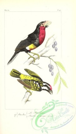 exotic_birds-00151 - pogonias major, Black-spotted Barbet, bucco niger
