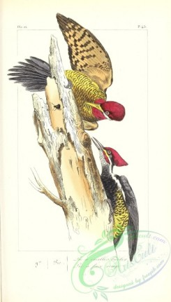 exotic_birds-00161 - Robust Woodpecker, picus robustus, picus erythrops