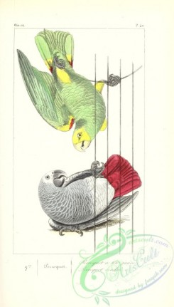 exotic_birds-00179 - Yellow-crowned Parrot, psittacus ochrocephalus, Grey or Timneh Parrot, psittacus erithacus