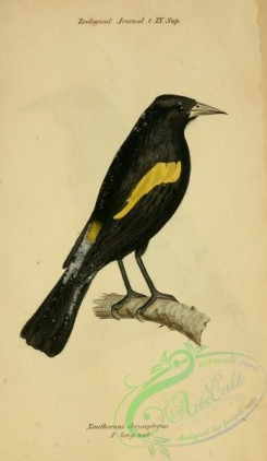 exotic_birds-00181 - Golden-winged Cacique, xanthornus chrysopterus