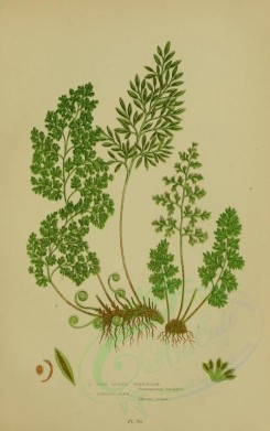 ferns-00012 - FINE LEAVED GYMNOGRAM, PARSLEY FERN [2251x3588]
