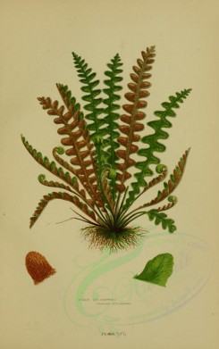 ferns-00028 - SCALY SPLEENWORT [2251x3588]