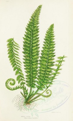 ferns-00108 - HOLLY FERN [1489x2463]