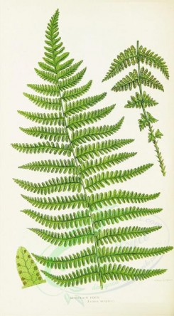 ferns-00116 - MOUNTAIN FERN [1395x2526]