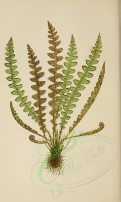 ferns-00376 - ceterach officinarum (L) [2134x3565]