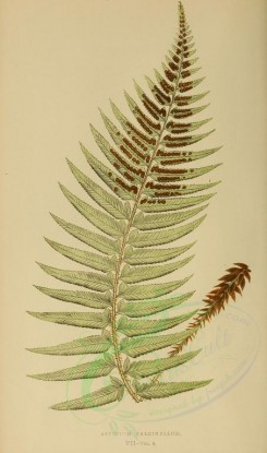 ferns-00474 - aspidium falcinellum (L) [2749x4652]