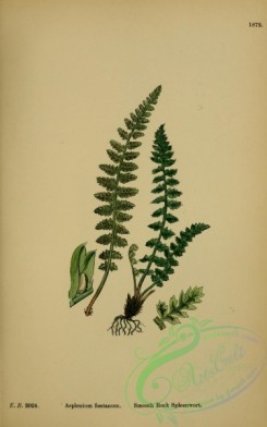 ferns-01410 - Smooth Rock Spleenwort, asplenium fontanum [2319x3707]