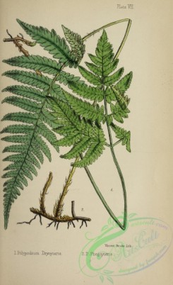 ferns-01753 - 006-polypodium dryopteris, polypodium phegopteris