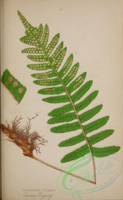 ferns-01836 - 009-Common Polypody, polypodium vulgare