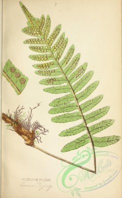 ferns-01861 - 009-Common Polypody, polypodium vulgare