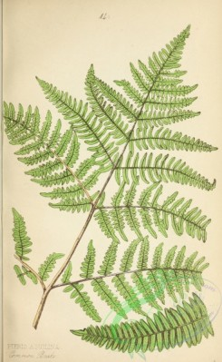 ferns-01868 - 016-Common Brake Fern, pteris aquilina