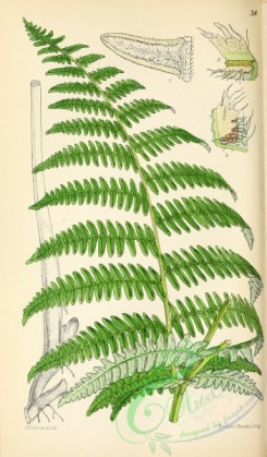 ferns-01942 - 038-Common Brake or Bracken, pteris (ornithopteris) aquilina