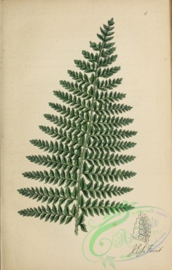 ferns-01974 - 004-Common Prickly Shield Fern, polystichum aculeatum