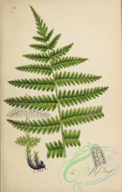 ferns-01977 - 007-Mountain Buckler Fern or Heath Shield Fern, lastrea oreopteris