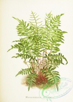 ferns-02013 - 009-woodwardia areolata