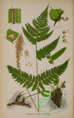 ferns-02067 - 002-Diagram of Parts of Ferns