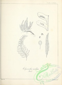 ferns-02858 - black-and-white 234-calymmodon cucullatus