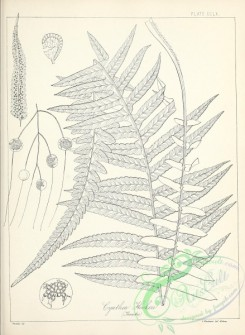 ferns-02885 - black-and-white 261-cyathea hookeri