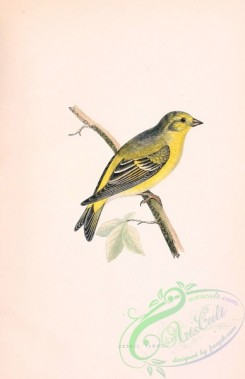 finches-00001 - CITRIL FINCH