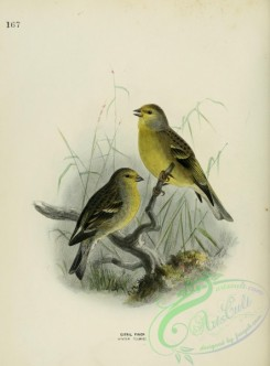 finches-00008 - CITRIL FINCH, 2