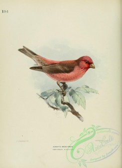 finches-00018 - SINAITIC ROSE-FINCH