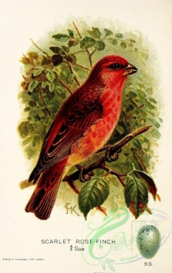 finches-00020 - Scarlet Rose-Finch