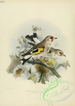 finches-00022 - HIMALAYAN GOLDFINCH
