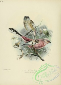 finches-00025 - SIBERIAN ROSE-FINCH