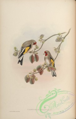 finches-00030 - Eastern Goldfinch