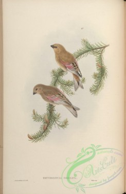 finches-00035 - Rosy-winged Finch