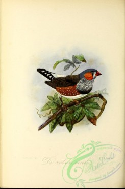 finches-00045 - Chestnut-eared Finch