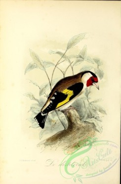 finches-00050 - Goldfinch