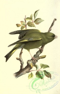finches-00084 - GREENFINCH