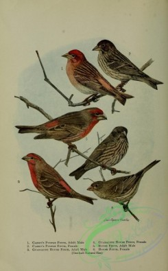 finches-00089 - Cassin's Purple Finch, Guadalupe House Finch, House Finch